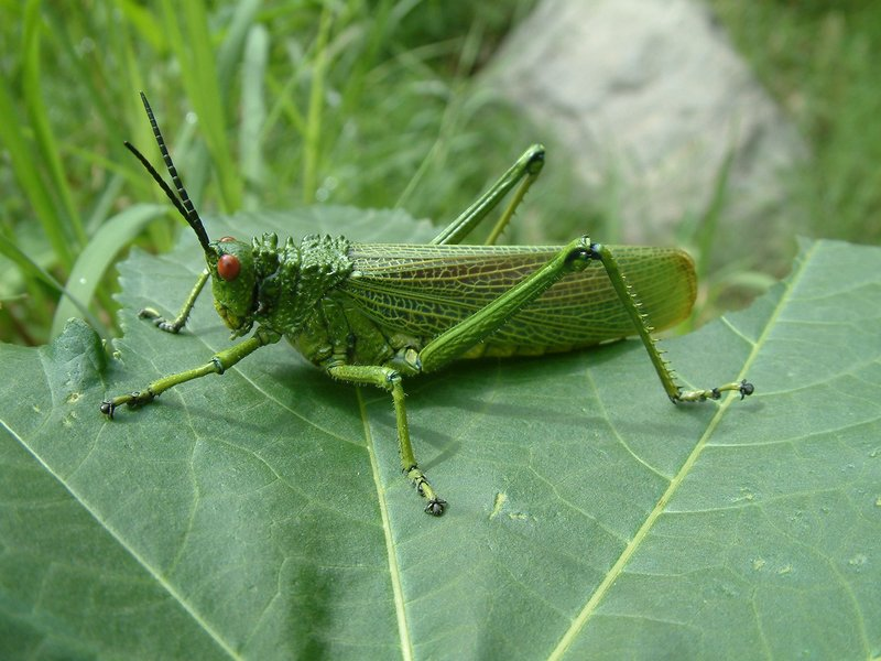 Green cricket thing