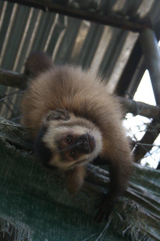 Baby Capuchin