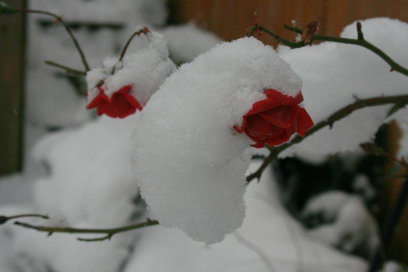 Christmas roses?
