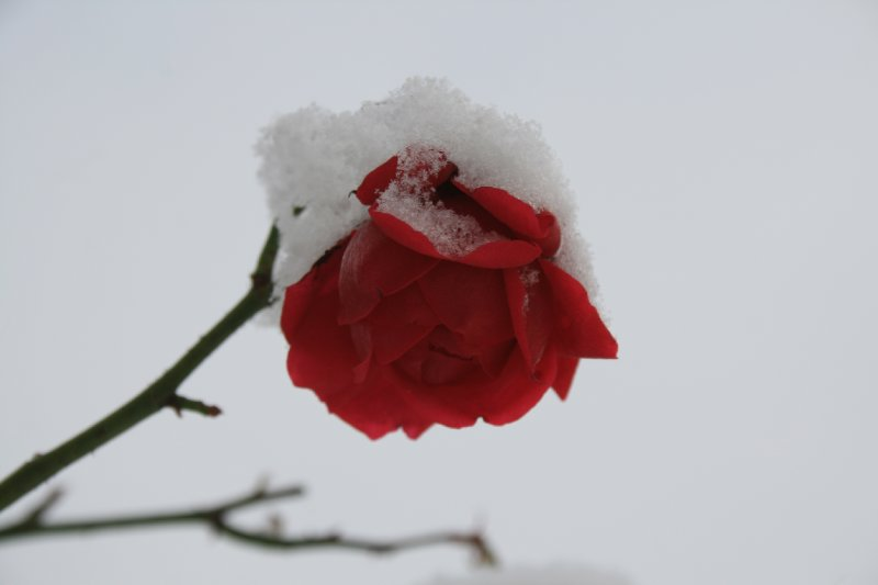 Snow rose