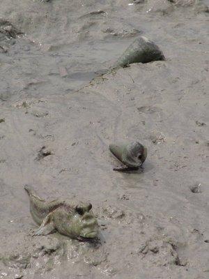 Grumpy mud skipper in Pulau Ketam