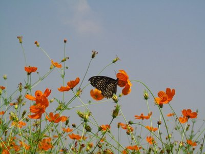 butterflies and cosmos, Tad Thong waterfall, Luang Prabang