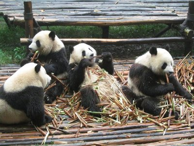 young pandas having breakfast