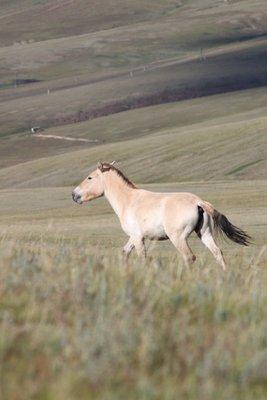 270_Mongolian_Horse.jpg
