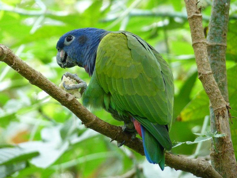 Loro Verde, (Cacatua)