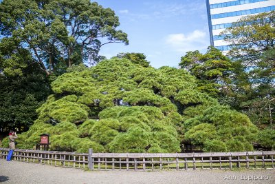 300 year old pine tree at Hamarikyu Gardens