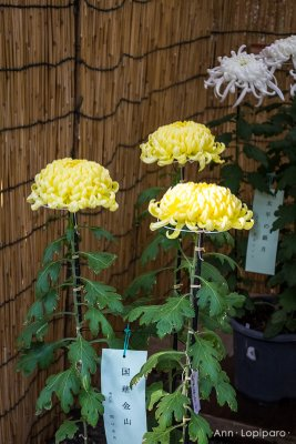 Chrysanthemums on display as part of the Autumn Grand Festival