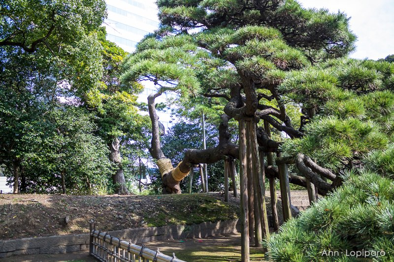 The supports for the 300 year old pine at Hamarikyu Gardens