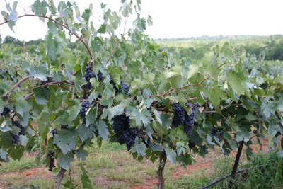 East Texas Grapevines