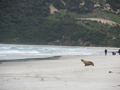 Hooker Sea Lion