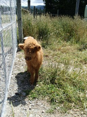 Teddy, the highland cattle calf