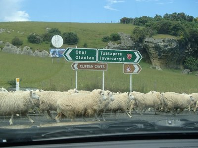 Driving with Sheep
