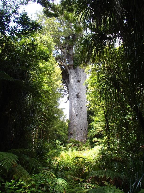 huge Kauri tree