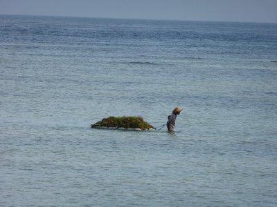 Lembongan seaweed farmer