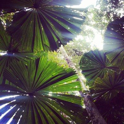 Paluma trees at Daintree Rainforest