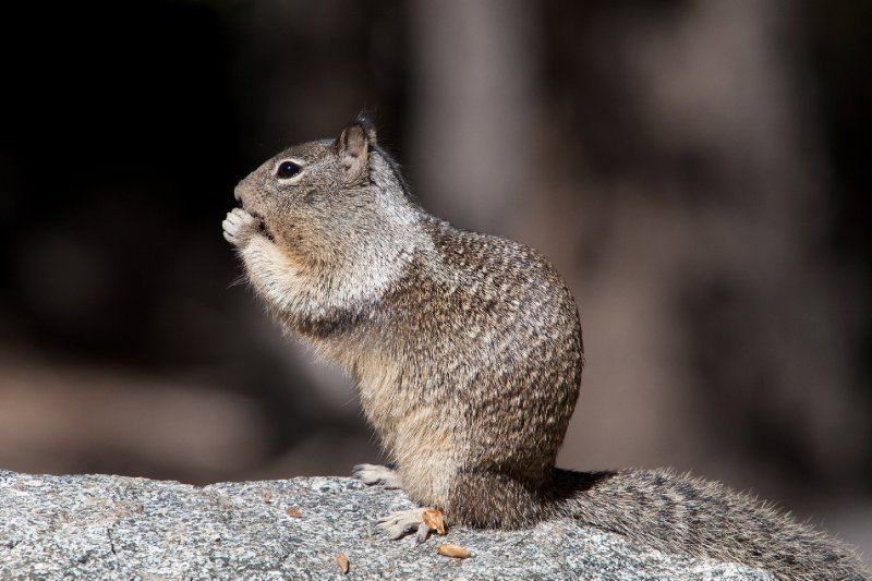 Glacier Point Squirrel