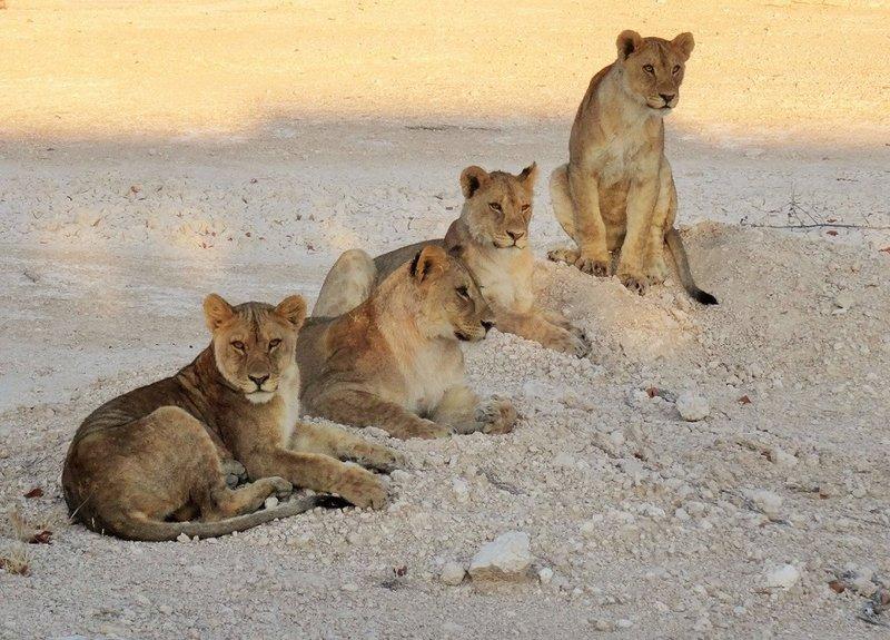 Etosha proud lions