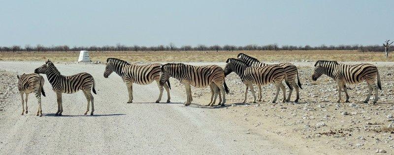 Etosha zebra crossing