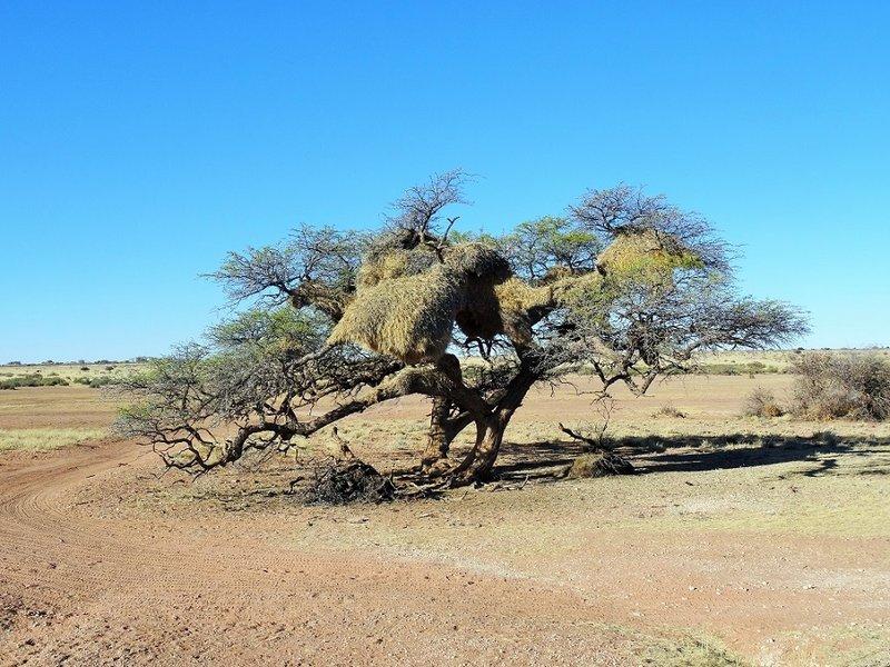 Kalahari Desert Social Weaver bird nest