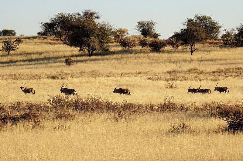 Kalahari Desert Oryx