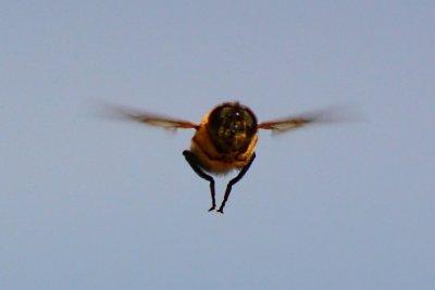 Himalayan Bee