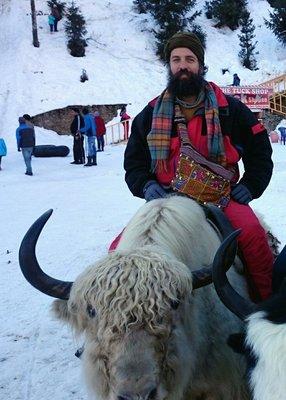 fat yak Himalayas india 2015