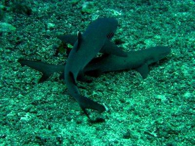 Sharks. Sipadan