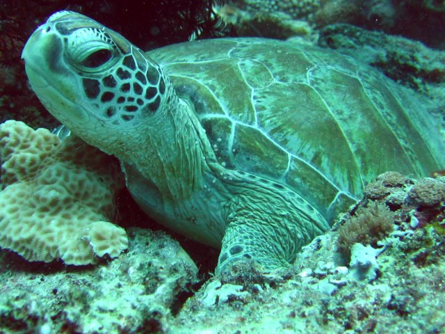Turtle of Sipadan