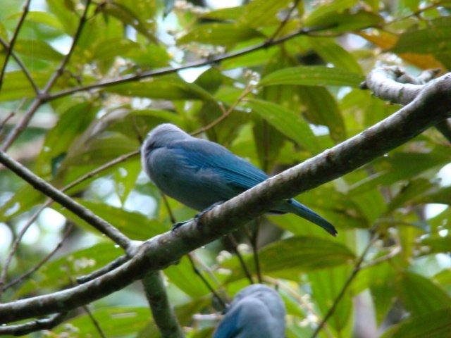 Birds in tortuguero