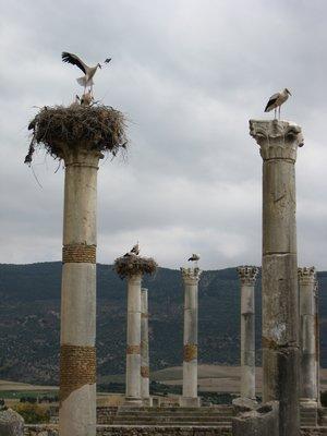 Storks in Volubilis