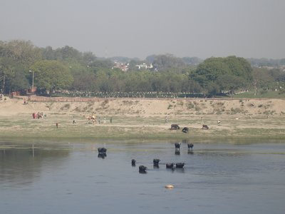 Buffalos Bathing in the Ganga, Agra