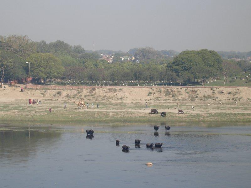 Buffalos Bathing in the Ganga, Agra