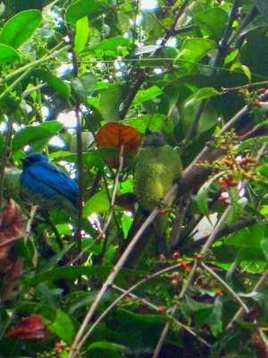 Fonte Limpa - Green and Blue bird