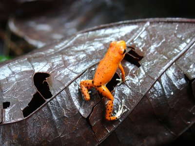 Red Frog in Bastimentos - The Wonderfull La Loma Jungle Lodge