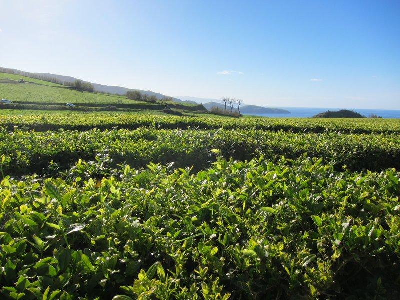Açores | Tea Plantation