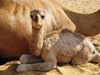 Baby camel.