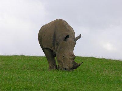 Rhino in Longleat