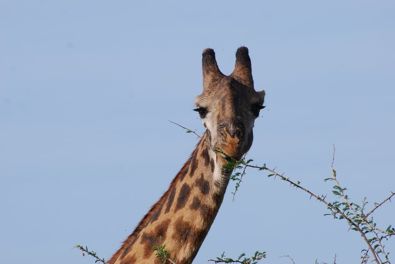 Giraffe having a snack