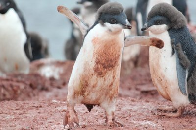 Happy dirty penguin chick
