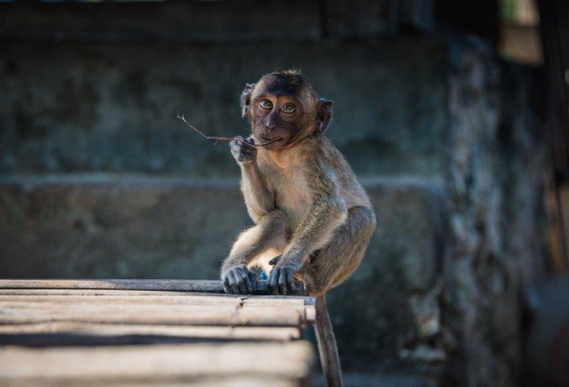Innocent Monkey