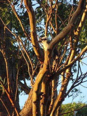 Kookaburra in Bundeena