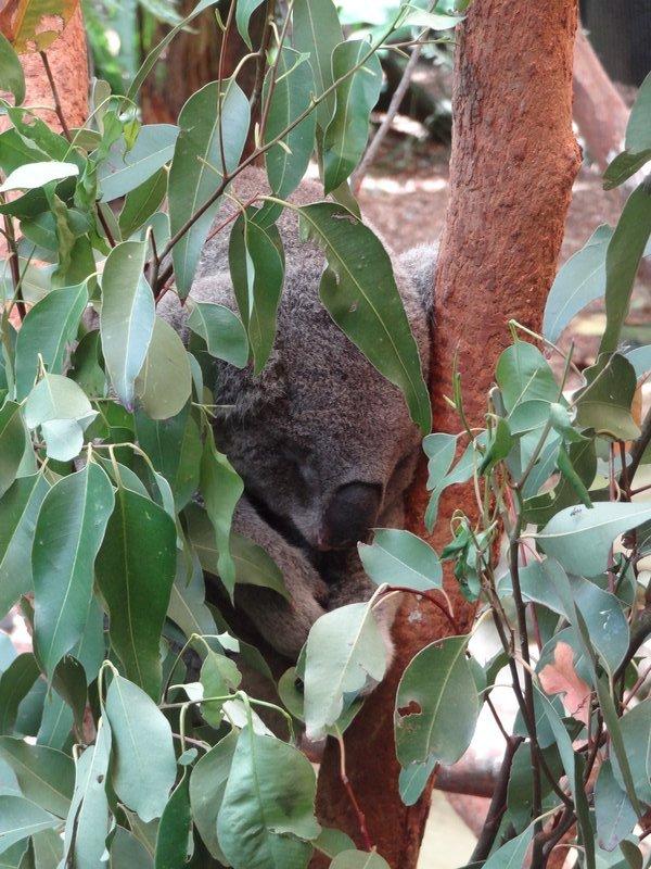 Finde den Koala