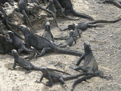 La grande famille des iguanes marins