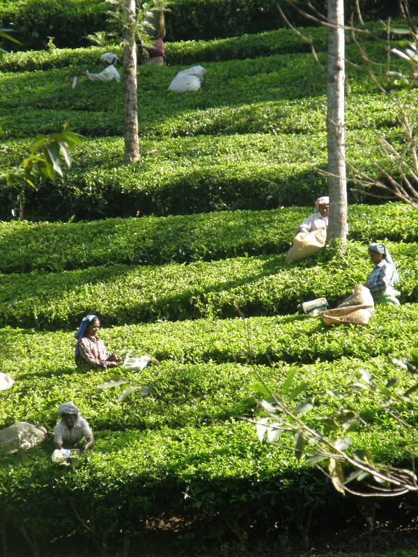 La récolte du thé