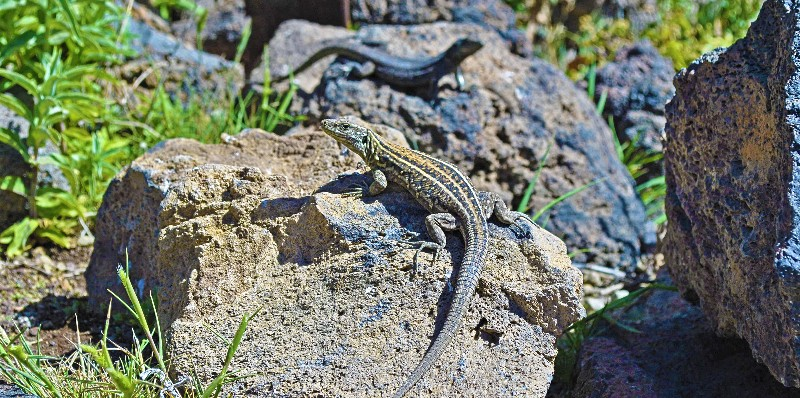 Lizards at Teide National Park (Tenerife)