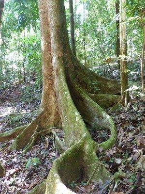 ROOT OF THE PANAMA TREE