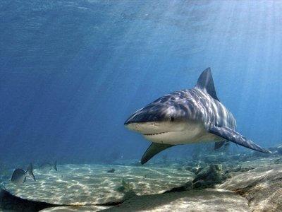 PHOTO OF BULL SHARK