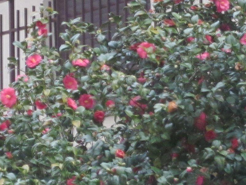 Blommande buske i januari
