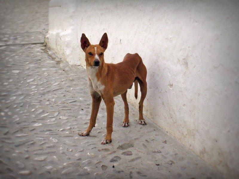 Arcos de la Frontera Street Dog