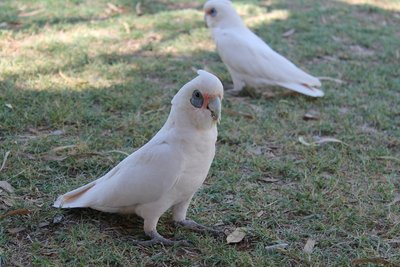 cheeky corellas